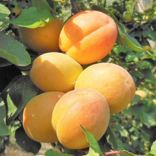 Pears and apples in season | Pollena Trocchia, NA | Fratelli Sannino