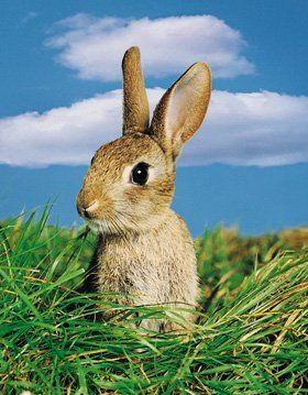 Vets for pets - Leicester, Wigston - Albion Veterinary Clinic - Rabbit