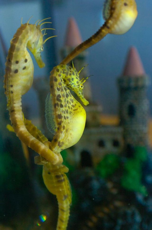 Seahorse fish images best image konpax 2018 for Freshwater fish representative species
