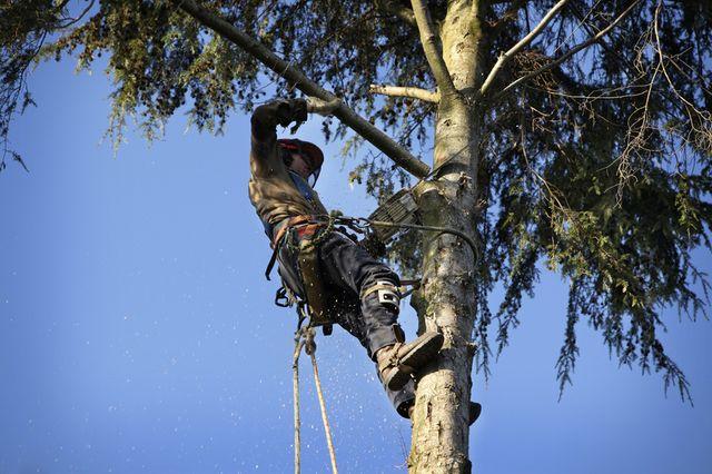 An arborist in a tree