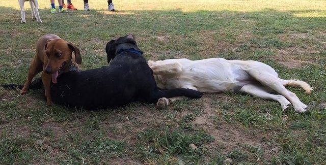 tre cani in un prato uno vicino all'altro