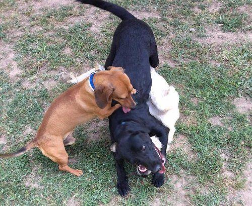 dei cani che giocano tra di loro