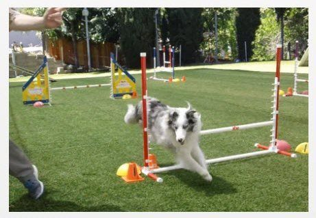 Agility dog Magic Momo Superdog takes jump to turn right