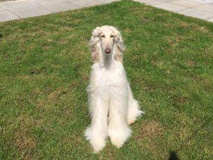 A white furry dog