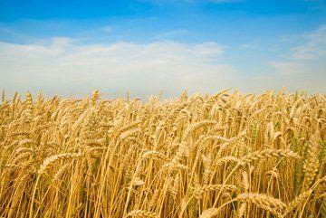 Wheat - Downham Market, Norfolk - Acorn Seeds Ltd - Agriculture