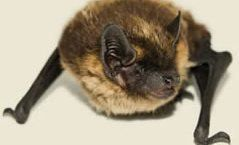 Bat removal service in Sherman, CT