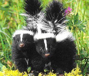 Do Skunks Hibernate American Bio