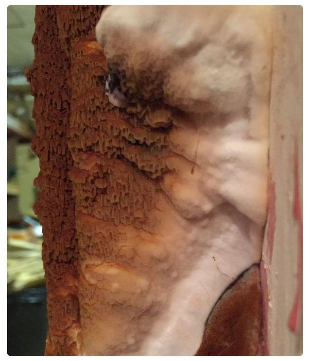 Dry rot spore