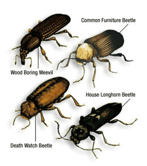 woodworm beetle types