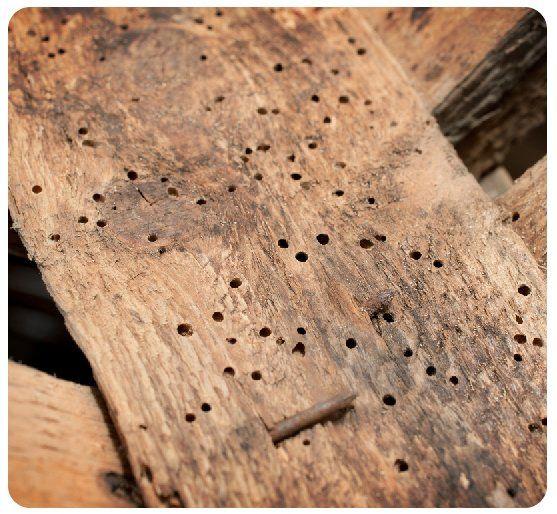 wood damaged by woodworm larvae