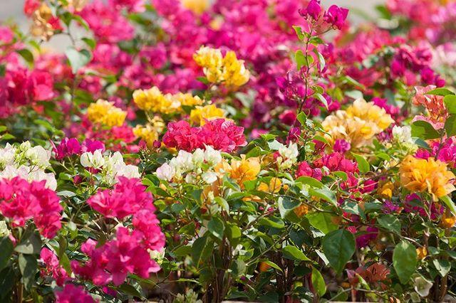 Bella fotografia di bouganvilias di vari colori