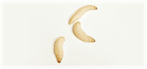 Worm-Farm---Rotherham,-UK---Wazp-Brand-UK-Ltd---Wax-Worms1