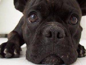 primo piano muso di un cane