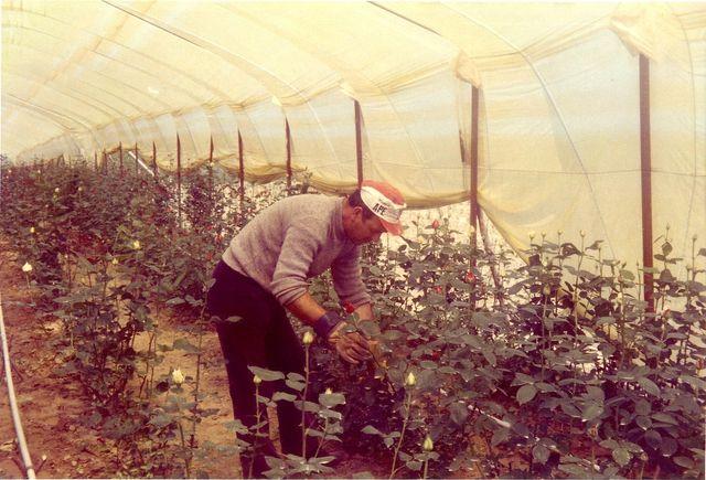 primo impianto di rose baccarà