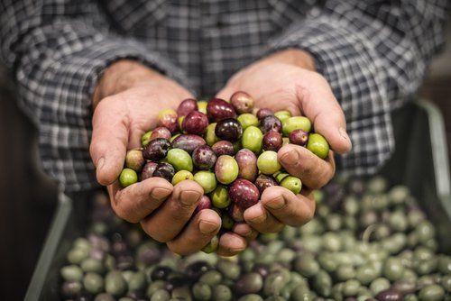 mani di un uomo che tengono una manciata di olive