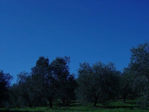 raccolta delle olive in sacchi
