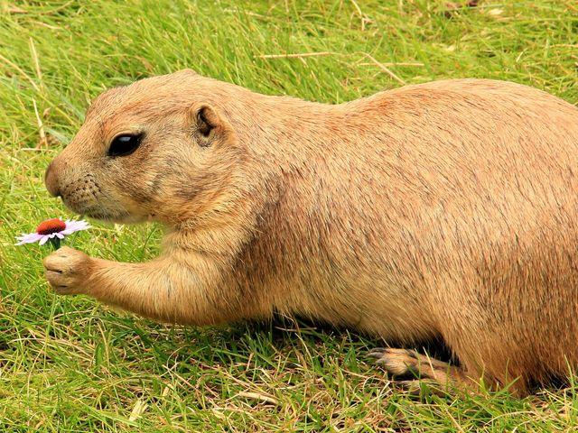 Natural Prairie Dog Repellent