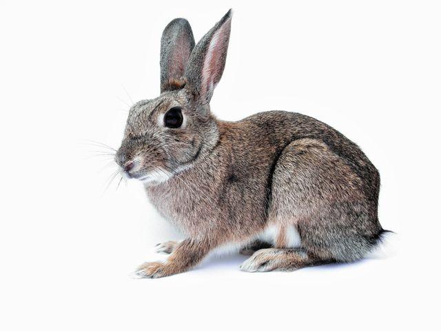 Rabbit Repellent | Get Rid of Rabbits | Shake-Away Fox urine