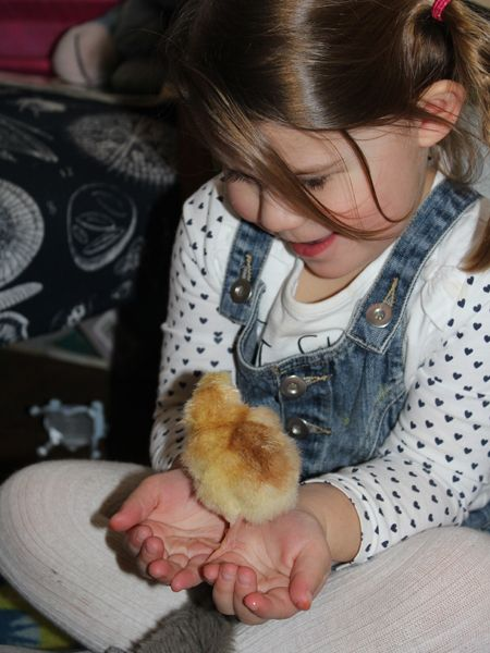 child playing with a chicken