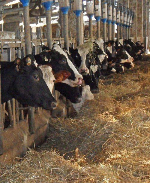 Mucche al pascolo a Sant'Ilario D'Enza