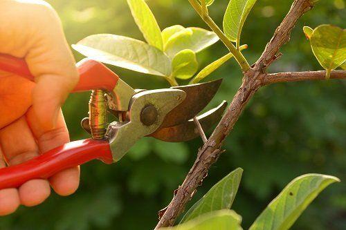 primo piano di una mano con tronchesa che pota un ramo