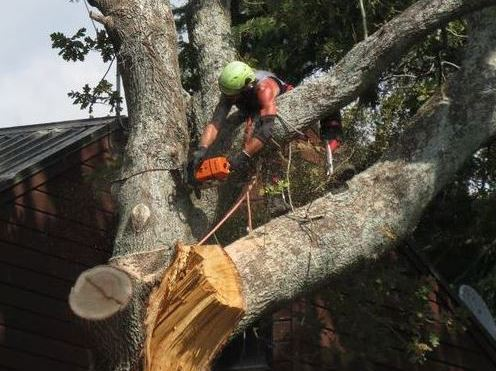 Limb removal of large Oak tree in Manukau