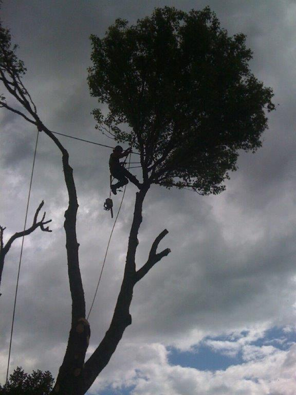 Professional arborist climb in large tree