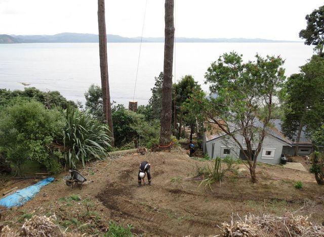 Pine Tree removal in Big Bay Awhitu