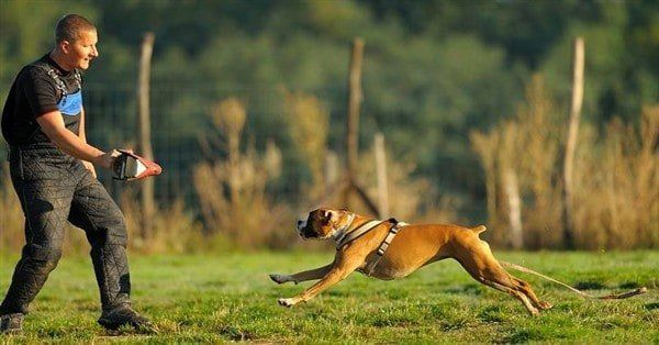 boxer-dog-running-at-trainer