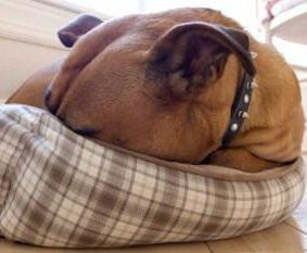 Boxer dog hiding head in pillow