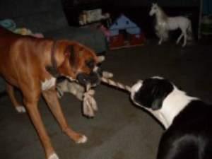 Two Boxer dog playing tug-of-war