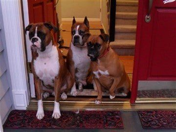 3-boxer-dogs-different-appearance
