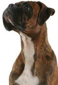 Boxer dog short coat