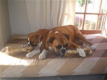 boxer-dogs-adult-and-puppy