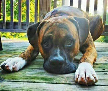 brindle-boxer-dog-adult-