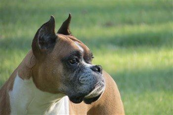 Boxer-dog-cropped-erect-ears