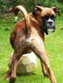 Boxer with long tail