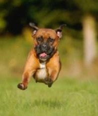 Boxer dog running fast