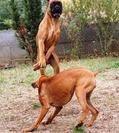 Boxer dogs play fighting