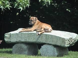 Boxer Dog Degenerative Myelopathy