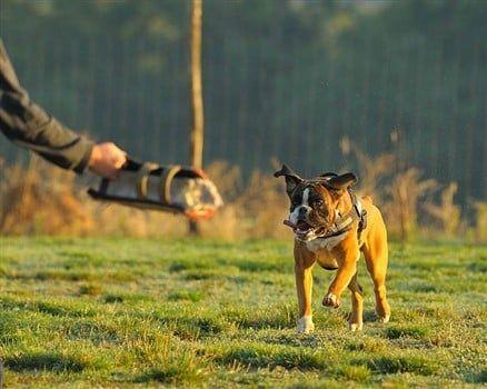 Boxer-running-to-bite-trainer