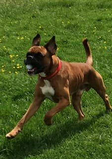 adult Boxer dog with long natural tail