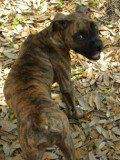 Brindle Boxer without white markings
