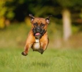 Boxer dog running through field