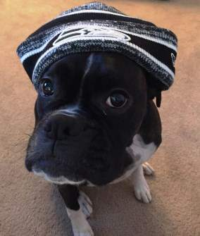 black Boxer dog with hat on