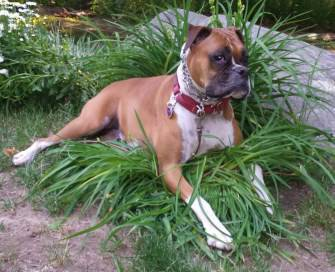 Boxer dog in a garden