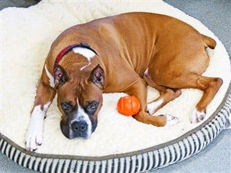 boxer-dog-adopted-from-rescue