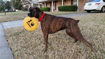 boxer-dog-adult-profile