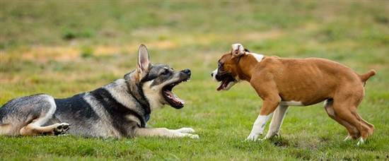 Boxer and German Shepherd together