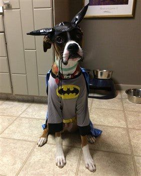 Boxer dog as Batman costume